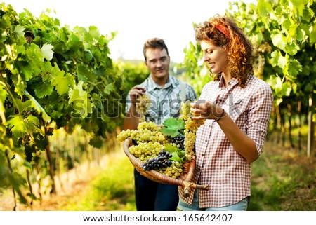 farmers harvesting  grapes in a vineyard
