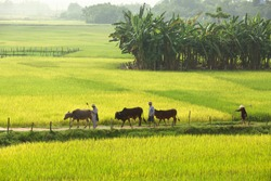 Farmers on the way to work through paddy fields in rural Vietnam.