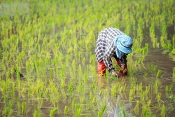 Farmers plant rice in rice field