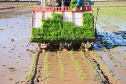 Farmers planting rice in field by using rice planting machine, rice planting by rice transplanter,