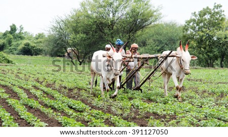 Farmers plugging in soybean field with bulls, rural village Salunkwadi, Ambajogai, Beed, Maharashtra, India