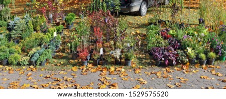 Farmers sells self-grown  decorative  garden  evergreen plants and simple flowers  in a autumn golden meadow. Sunny Octoberr day panoramic  landscape
