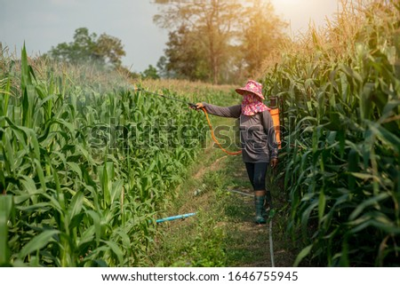 Farmers spray pesticides onto corn plants. By using an insecticide sprayer with improper protection in the paddy field, the use of insecticides is harmful to health ストックフォト ©