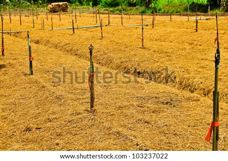 Farmers take rice straw mulching to maintain soil moisture.