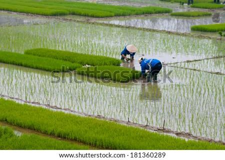 Farmers transplant rice in a field in Vietnam  ストックフォト ©