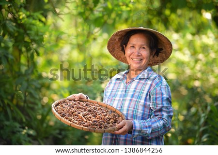 farmers Vietnam are picking coffee beans woman hand is harvesting the coffee beans, Picking coffee bean from coffee tree