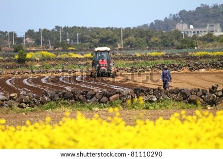Farmers workers in the yellow rape seed field
