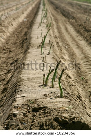 Farmers working on an asparagus field in The Netherlands.