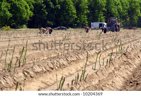 Farmers working on an asparagus field in The Netherlands. - stock photo