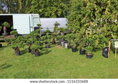 Farmesr sells self-grown  decorative  garden  pine and fir  trees  in a green meadow. Sunny September day landscape