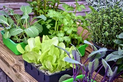 Farming,cultivation, agriculture and care of vegetables concept: fresh young vegetable seedlings and aromatic plant seedlings  on a wooden background.
