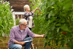 farming, gardening, agriculture, harvesting and people concept - senior couple with clipboard growing tomatoes at farm greenhouse