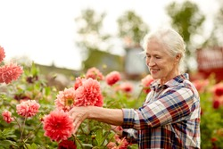 farming, gardening and people concept - happy senior woman with dahlia flowers blooming at summer garden