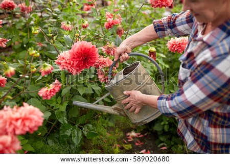farming, gardening and people concept - happy senior woman with watering can and dahlia flowers blooming at summer garden
