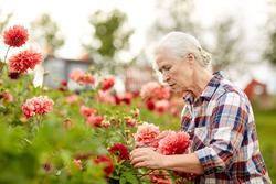 farming, gardening and people concept - senior woman with flowers blooming at summer garden