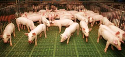 Farming raising and breeding of domestic pigs