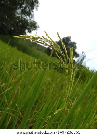 farming. rice farming in Indian village