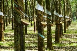 farming rubber trees in mass number like a green forest