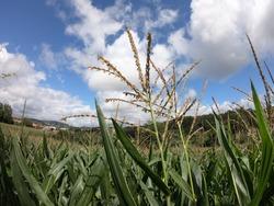 Farming scene in Portugal. Grain fill stage in corn.
