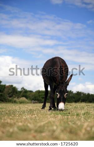 Farmland and Grazing Donkey - Overcast Blue Sky
