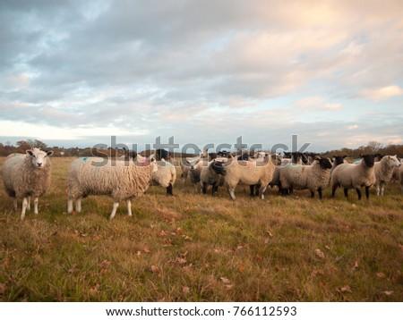 farmland close up white sheep farm grass grazing standing animals; essex; england; uk #766112593