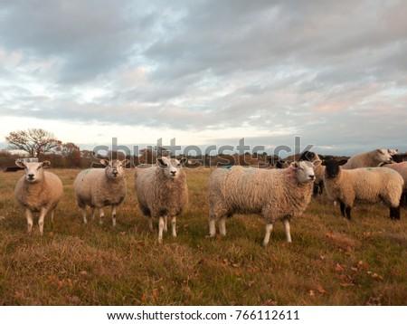 farmland close up white sheep farm grass grazing standing animals; essex; england; uk #766112611