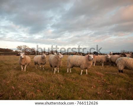 farmland close up white sheep farm grass grazing standing animals; essex; england; uk #766112626