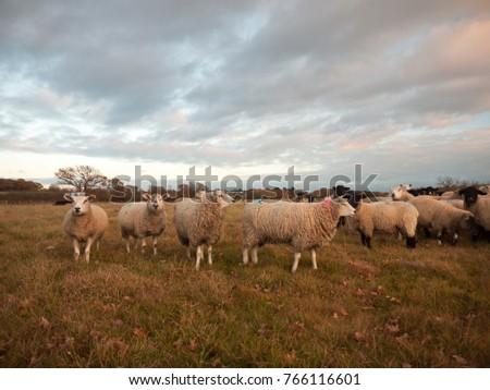 farmland close up white sheep farm grass grazing standing animals; essex; england; uk #766116601