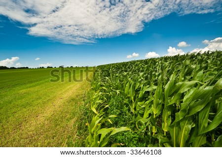 Farmland in summer with fresh green grass, corn field and bright blue sky