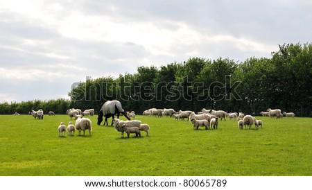 Farmland Scene of Sheep Grazing in a Green Field