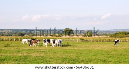 Farmland View of Cattle Grazing in a Green Field