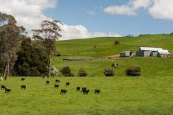 Farmland with cattle grazing on hillside in Tasmania, Australia