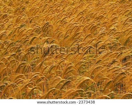 farmland with cereal crops harvest harvesting food grow growth growing