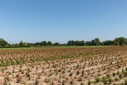 Farmland with green and brown dried crops on the countryside in a rural area Eersel, Brabant, The Netherlnads on a sunny day during summer creating a mindful scenery