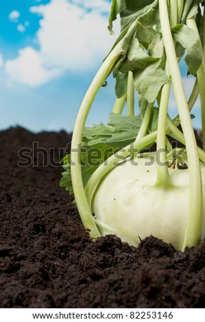 Farmland with kohlrabi turnip