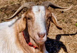 Farmyard goat looks up to the camera