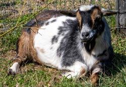Farmyard goat takes it easy in its paddock