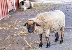 Farmyard sheep outside the barn