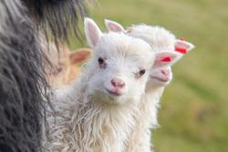 Faroe Islands animals, sheeps and lambs