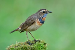 Fascinated bird with bright blue and orange feathers on its neck standing on mossy grass showing side view profile over fine blur green background, Bluethroat (Luscinia svecica)