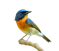 fascinated blue and orange bird perching on thin wood isolated on white background, Chinese blue flycatcher (Cyornis glaucicomans)