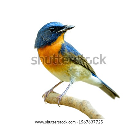 Photo of  fascinated blue and orange bird perching on thin wood isolated on white background, Chinese blue flycatcher (Cyornis glaucicomans)