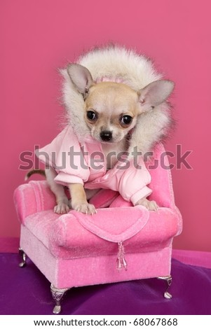 fashion chihuahua dog style sofa armchair pink background
