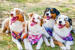 Fashion  smiling Australian shepherd dogs posing in a row for a photo  with a  colorful bandana scarf