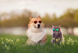 fashionable couple corgi dog and striped cat sit on a summer sunny meadow in sunglasses glasses