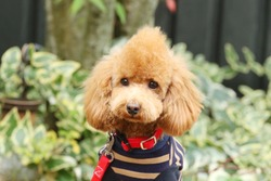 Fashionable toy poodle