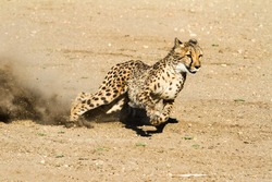 Fast and nimble cheetah