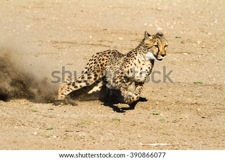 Fast and nimble cheetah