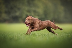 Fast and powerful female American Pit Bull Terrier running on green grass against the backdrop of a lush summer landscape