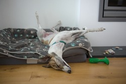 Fast asleep, this large pet greyhound dog assumes an unusual position, with back legs in the air, front legs crossed, nose on the floor. Comfy dog bed